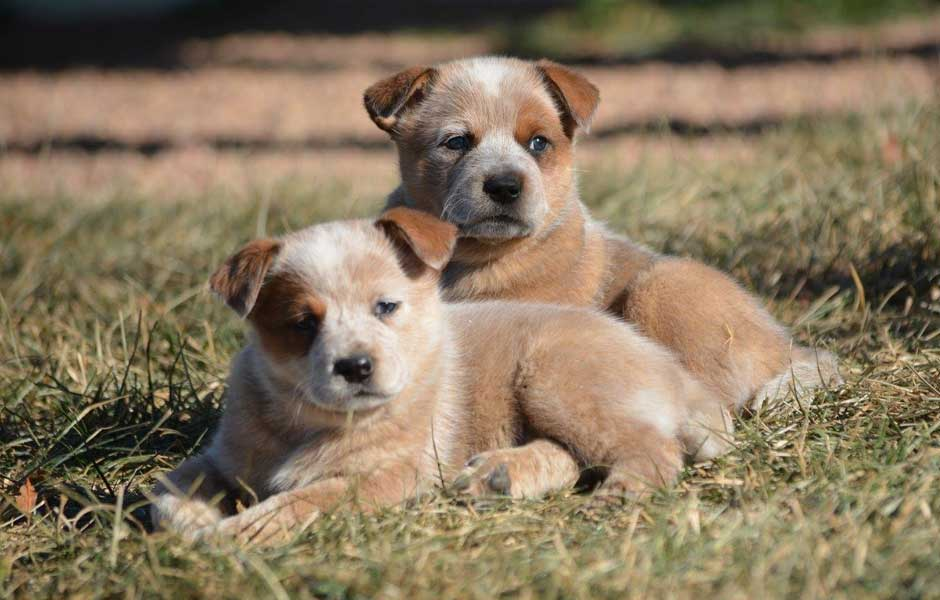 Two cute ACD puppies for slider.