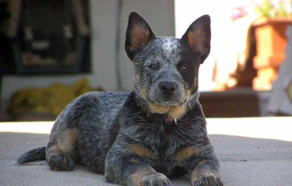 ACD blue 1/2 masked puppy.