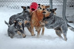 Four ACD's playing with a ball in the snow for slider.