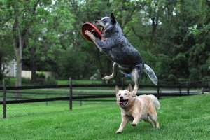 ACD jumping in the air to catch Frisbee for slider.
