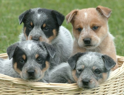 Coat Color in Australian Cattle Dogs