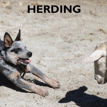 Herding Practice Runs for shop