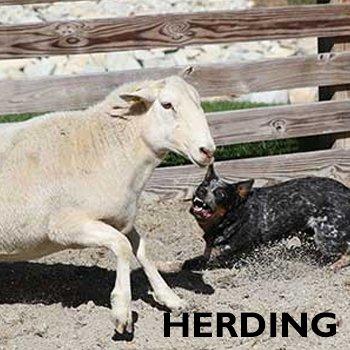Herding for shop